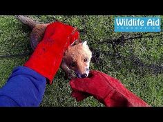 Filmed on Gopro, this cute baby fox cub was yet another case of a wild animal trapped in a net needing to be rescued by Wildlife Aid Foundation. English Bulldog Funny, Dog Grooming, Gopro, Cubs, Animal Rescue, Animal Pictures, Cute Babies, Beast, Preschool