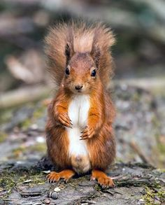 Red squirrel at Tentsmuir Forest in Fife