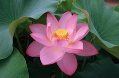 The beauty of the lotus flower