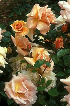 The children's mother loves roses. This is the La Canadienne Hybrid Tea Rose.