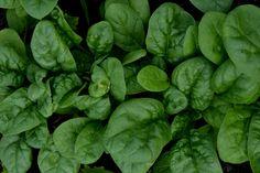 Jag kan odla spenat, nästan hur mycket som helst, och ändå tycka att vi har alldeles för lite. Det är en mycket nyttig grönsak värd att odla mycket av.