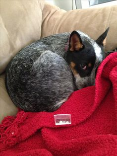 Typical hunched-up-in-a-tight-little-ball-giving-you-the-what-for-look blue heeler trademark lol.