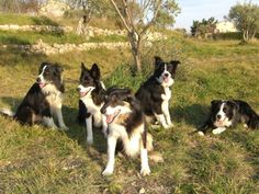 There's nothing quite like a Border Collie........... except maybe five Border Collies... *am exhausted just thinking about it*