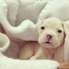 white boxer puppy! Looks like one of Lae's pups!! SOOOOOO CUTE!! #dogsfunnychristmas #boxerpuppy