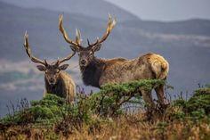 Bull Elk in the Autumn.  Plenty of big guys like these wandering around Idaho.
