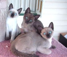 Tonkinese Cats These domestic cats are characterized by their unique 'mink coats' and the most stunning aquamarine eyes. Cute Cats And Kittens, I Love Cats, Crazy Cats, Kittens Cutest, Tonkinese Kittens, Siamese Cats, Domestic Cat Breeds, Exotic Cats, Beautiful Cats
