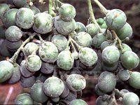 Ochrana vinné révy proti houbovým chorobám