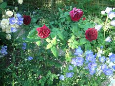 L D Braithwaite and Alastair Stella Gray roses and campanula Love Flowers, Garden Design, Roses, Gardens, Landscape, Gray, Plants, Scenery, Pink