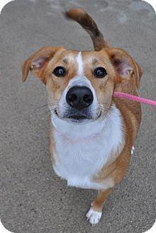Collie Mix Dog for adoption in Fairfax Station, Virginia - Ada