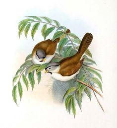 Paradoxornis à tête grise - Psittiparus gularis