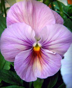 Viola VI by miss-gardener on deviantART Tulips Flowers, Butterfly Flowers, Exotic Flowers, Pansies, Flower Art, Wild Flowers, Planting Flowers, Beautiful Flowers, Pansy Flower