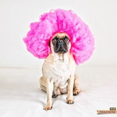 """Life is to short to have boring hair"" @itslolathepug #pug #hairstyle"