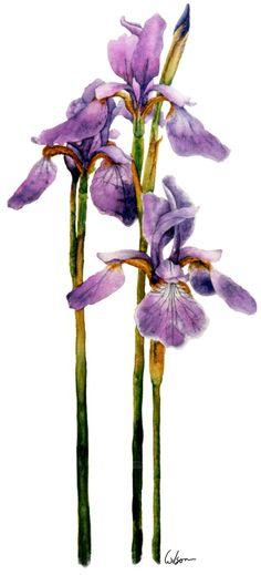 watercolor siberian iris | Siberian Iris-watercolor on paper. 1998