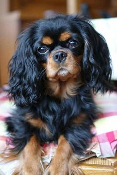 Black and Tan Cavalier This is a magnificent dog. His coloring, bright eyes, lovely muzzle, and beautiful head. #cavalierkingcharlesspanielblackandtan