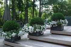 Boxwood spheres with Lamium White Nancy and white petunias. Deborah Silver, landscape and garden designer.