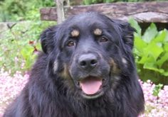 Tommy is an adoptable English Shepherd Dog in Thompson, CT. This is Tommy. He was an owner surrender because the owner could no longer� affordt to feed him. When she surrendered him to us she said he ...