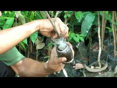 Air Layering Fruit Trees - Best Method - YouTube