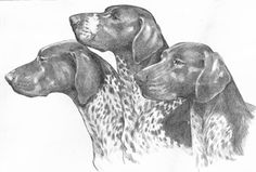 "German Shorthaired Pointer ""Head Studies"""