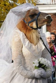 A llama named Cinnamon,of Ballston Spa, dressed in a bride costume parades as part of the Greater Appalachian Llama and Alpaca Assoc