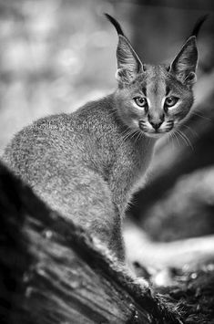 Caracal Cub by amrodel.deviantart.com on @deviantART