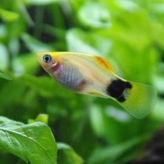 【aquarium.y】さんのInstagramをピンしています。 《2017.01.12 お腹の中の赤ちゃんの目が見えてます🎵 もうすぐ生まれるのかな…産卵箱に入れるタイミングが分からず💦 #熱帯魚 #アクアリウム #aquarium #ミッキーマウスプラティ》