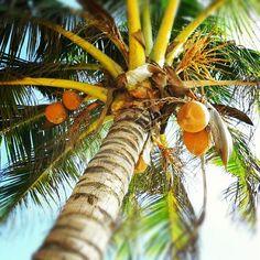 pimmsan #palmtree #srilanka #negombo