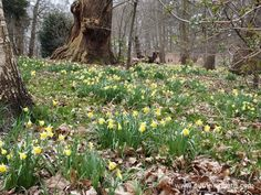 Special Offers and Money Saving Ideas for Gardeners in 2016 Daffodils at Painshill Landscape Garden Savill Garden, Stuff To Do, Things To Do, Spring Bulbs, Wild Style, Saving Ideas, Days Out, Surrey, Daffodils