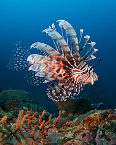 Lion Fish. I saw one of these in the USVI