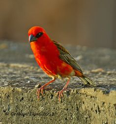 red fody        (photo)