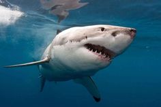 Shark culling & #overfishing may be contributing to #climate change http://ab.co/1Wv03QK @abcnews #sharks
