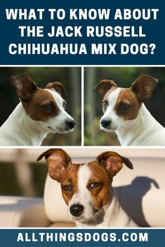 Due to their small size and fragile bones, they are not suited to the rough handling that may come with young children. Read our guide to learn everything you need to know about a Jack Russell Chihuahua mix dog. Jack Terrier, Jack Russell Terrier, Terrier Mix, Jack Russell Chihuahua Mix, Chihuahua Dogs, Puppies, Terrier Breeds, Dog Breeds, Lap Dogs