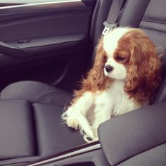 Cavalier King Charles ~ Beautiful puppy I've always wanted one of these!!