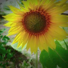 おはようございます Good morningღ 平成29年7月10日 庭のひまわり一輪だけ咲いた  #ひまわり # #sunflower #sunflowers  #해바라기 #葵花 #向日葵  #ひまわり  #ビタミンカラー  #北海道 #名寄市  月曜日襲来 _(:3 )_  今週も元気に()وがんばりましょう