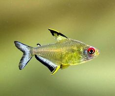"Size: max 2″ pH: 5.5 – 8.0 dH: 2 – 25, but lose color at higher levels Temp: 73 – 82F, Origin: Amazon Basin Additives: Black Water Expert found at Aquarium Supplements Food: New Life Spectrum ""Small Fish Formula found at Fish Foods The lemon Tetra is a very good community fish but is happiest... Read more »"