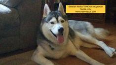 #Florida #Siberian #Husky TANK for adoption in #FL: http://www.siberrescue.com/