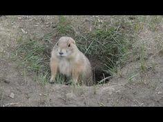 Prairie Dog Town #NationalParks #NorthDakota #Roosevelt #TDR #PrairieDogTown #wildlife #animals National Park Camping, National Parks, 4k Hd, Roosevelt, Polar Bear, Wildlife, Dog, Animals, Diy Dog