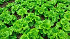 You'll enjoy never-ending greens by following these steps.  We tell you exactly what and when to plant.