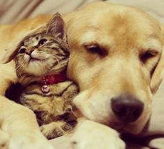 golden retriever and kitten so sweet... the only thing Zoey loves the cats with is her tongue and mouth