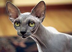 6 Curiosidades sobre gatos calvos Sphynx