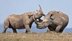 Is 10 Years in Jail Enough Hard Time for Murdering a Rhino? Life for a life. Rhino Animal, Rhino Art, Large Animals, Baby Animals, Funny Animals, Baby Hippo, Wild Animals Photography, Wildlife Photography, African Elephant