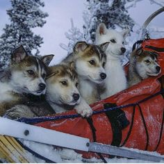 Adorable Husky Sled Dogs | Photograph by Paul Nicklen @paulnicklen #WildlifePlanet by wildlifeplanet