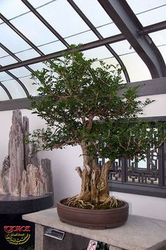 Orange jasmine - Murraya paniculata - Rutaceae - 215 years old 079 Murraya Paniculata, Bonsai Art, Bonsai Trees, Tropical Flowers, Houseplants, Indoor Outdoor, Container Gardening, Nature, Artists