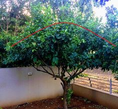 pruning lemon trees Not sure how to prune a lemon tree? Whether you're a hobbyist or a veteran gardener, you'll find help and guidance, for dozens of plants, that will ensure you get blooming results. Chickens Backyard, Hawaii, Bloom, Trees, Gardening, Plants, Gardens, Tree Structure