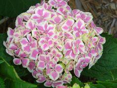 Las variedades de hortensias y sus cuidados | Información