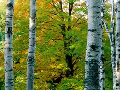 1000 images about birch trees on pinterest birches. Black Bedroom Furniture Sets. Home Design Ideas