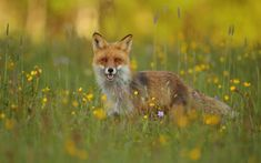 Red Fox by Assaf Gavra