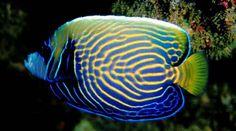Angel Fish (Pomacanthus imperator)