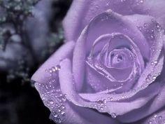 VIOLETT PURPLE ROSE #by www.facebook.com -- purplemything