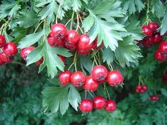 Russian Hawthorne: berries are called 'haws'