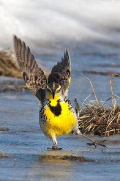 Western Meadowlark   2/3/14 Samish Flats- Skagit Wildlife Refuge- Skagit, WA
